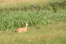 White tale deer fawn