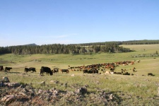 herd-cattle-klondike-ranch-wyoming
